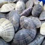 sunray venus clams
